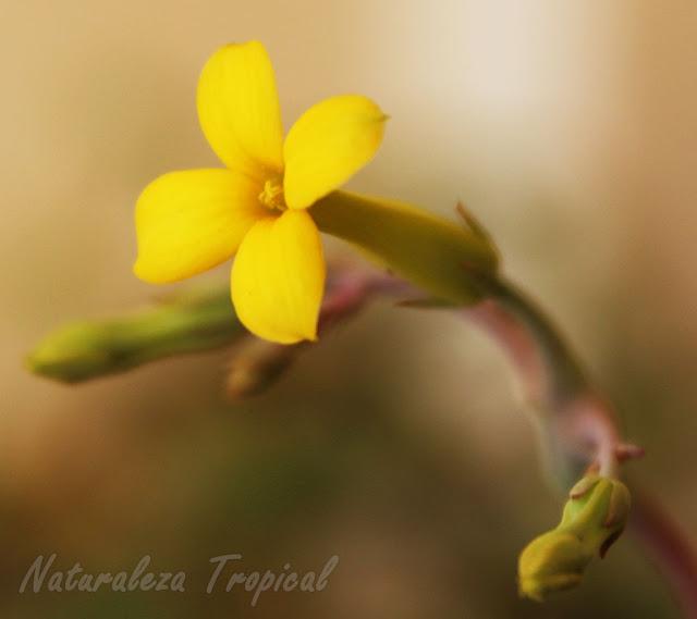 Flor típica de la planta suculenta Arbolito de Navidad, Kalanchoe laciniata