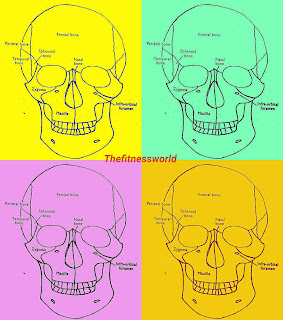 A diagram showing the skull with labels