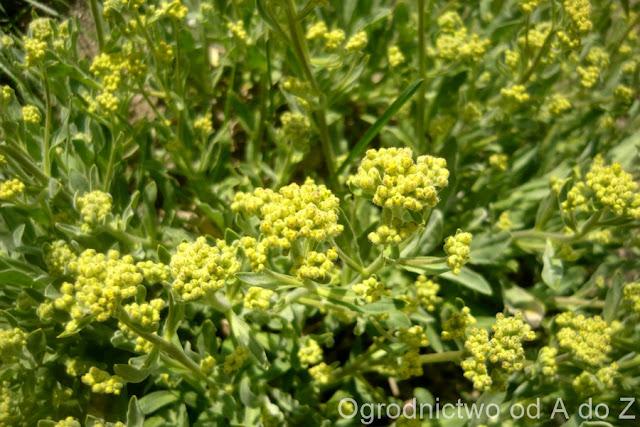 Alyssum saxatile, Aurinia saxatilis
