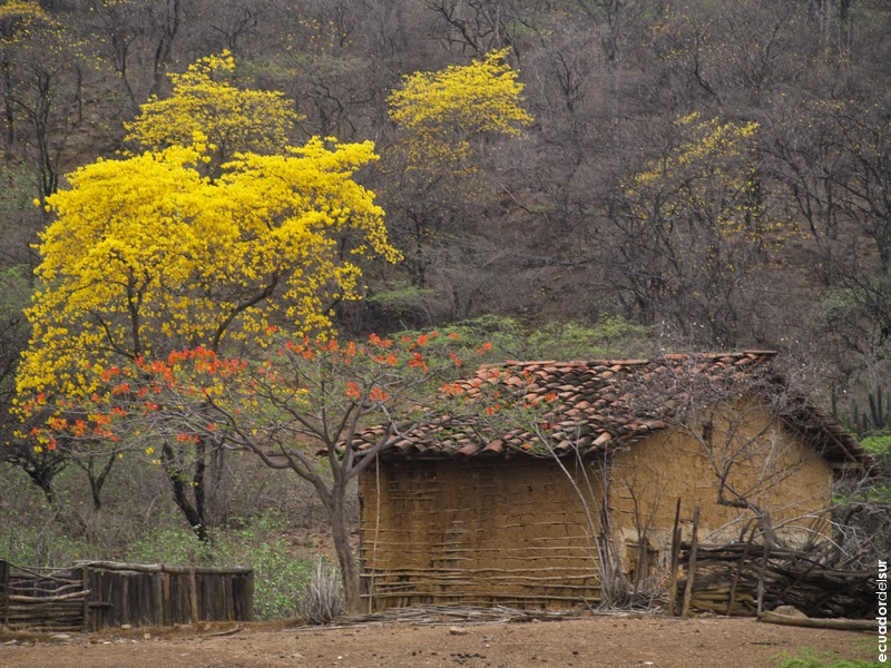Un paseo inolvidable, el florecimiento de los guayacanes cumplió las expectativas