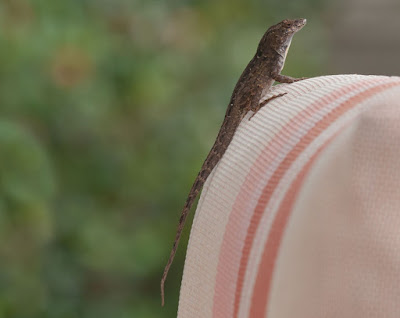 Little gecko with it's tail extended sitting on a pink outdoor cushion.