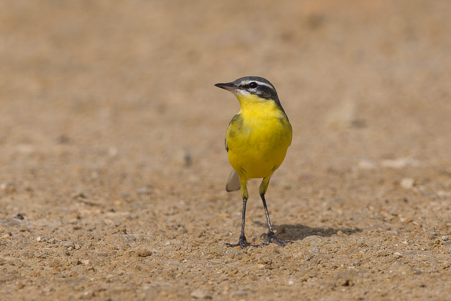 beama Yellow Wagtail