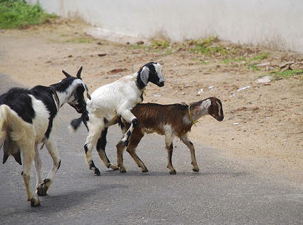latest funny pictures funny goats pics and wallpapers