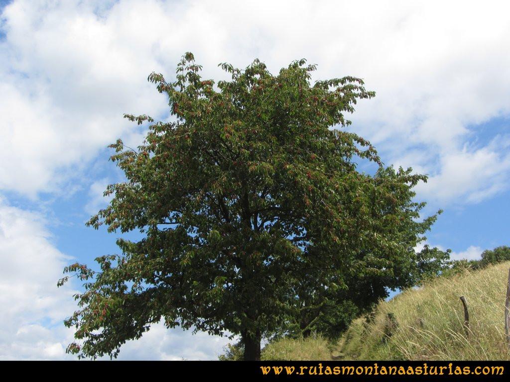 Ruta Cangas - Acebo: Cerezo cargado de cerezas junto a Vallinas