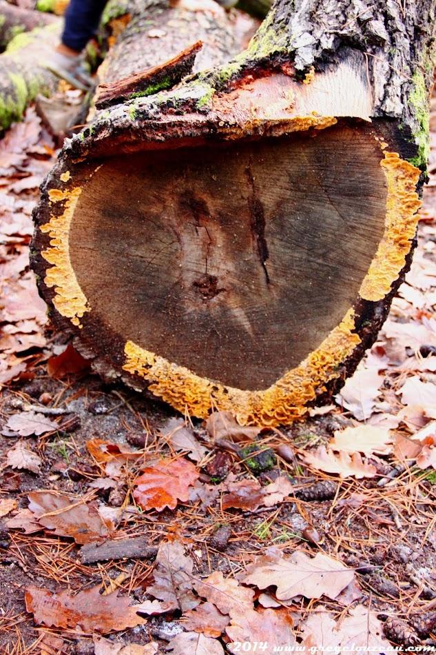 Champignons lignivore à l'attaque d'un tronc de chêne, Forêt de Fontainebleau, (C) 2014 Greg Clouzeau
