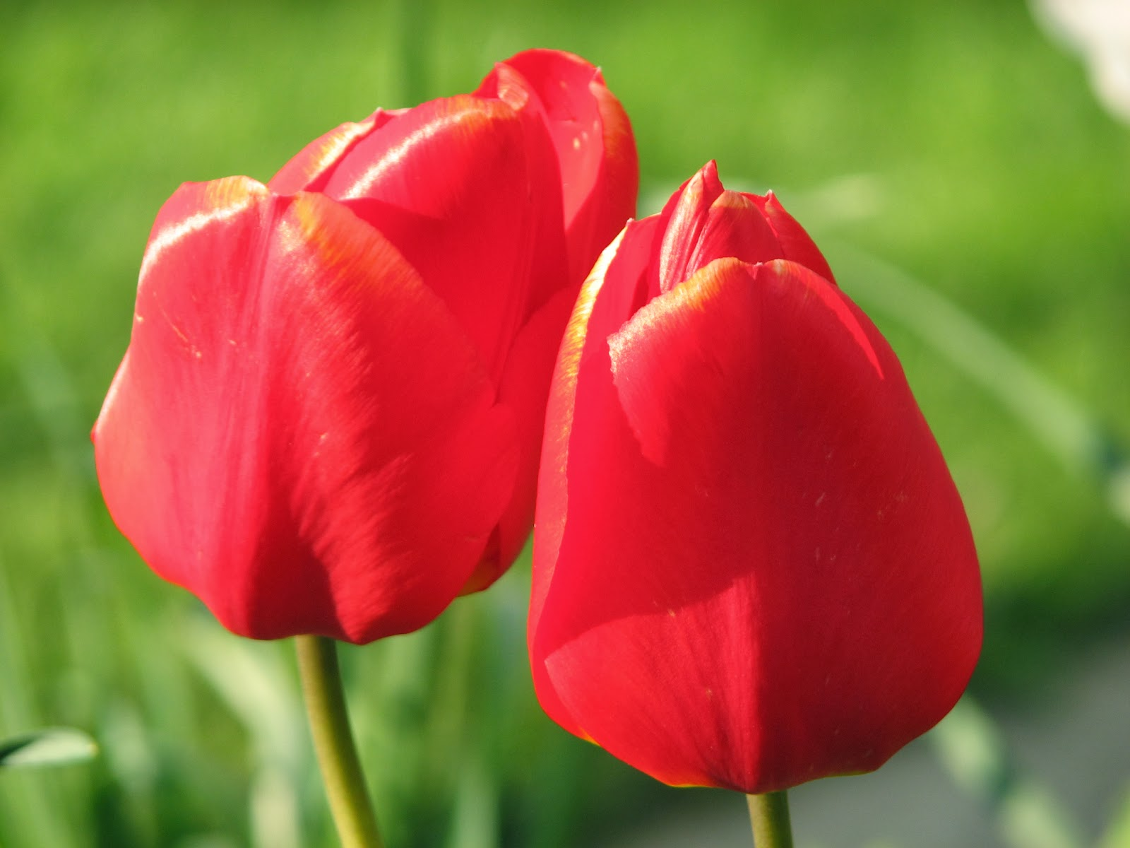 Flower Homes: Tulip Flowers