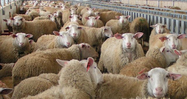 Ζωοκλέφτες γέμιζαν το μαντρί τους με κλεμμένα πρόβατα στην Αργολίδα