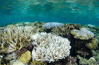 Global corals are in peril (Credit: Danita Delimont/Getty) Click to Enlarge.