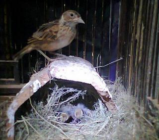 Penangkaran Burung Branjangan - Berapa Lama Proses Penjodohan Burung Branjangan?