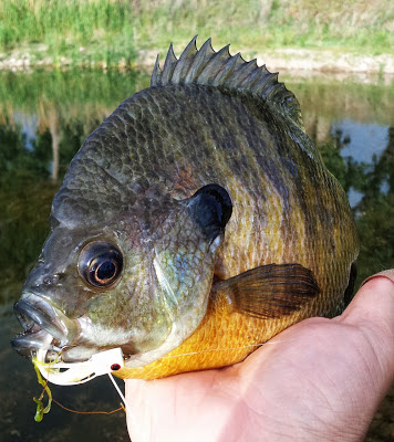 bluegill on a popper fly pattern topwater