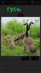 На поляне рядом с водоемом гуляют гуси и маленькие гусята находятся рядом, далеко не отходят