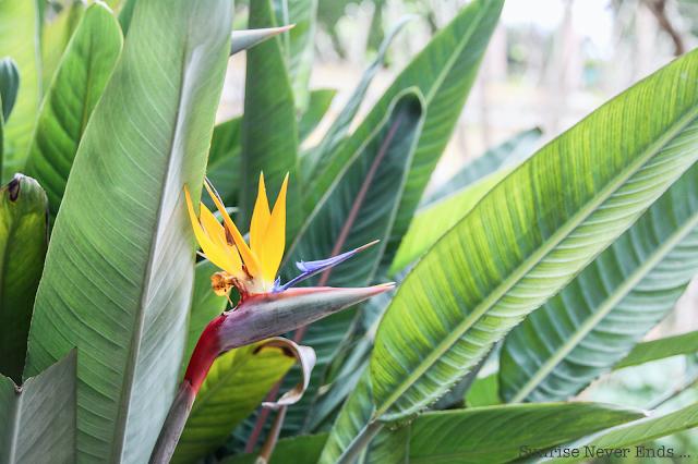 bird of paradise,oiseau du paradis,fleur,flower,saint jean cap ferrat