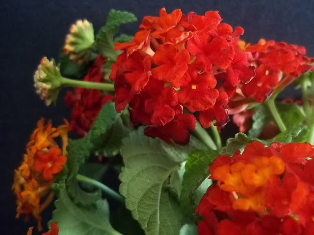 An image of Spanish Flag Lantana