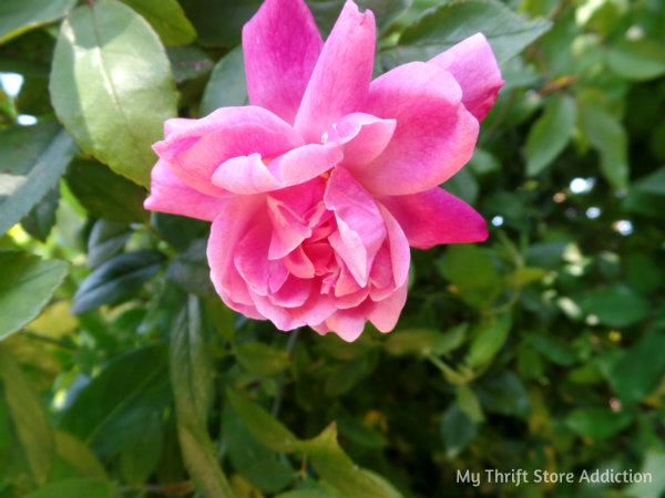 Signs of Spring at Secret Garden Herbs mythriftstoreaddiction.blogspot.com First pink rose bloom of spring!