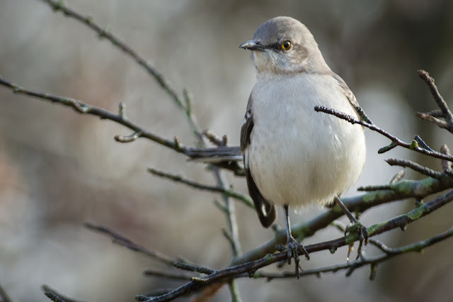 Mockingbird in Yaupon, River Legacy Parks