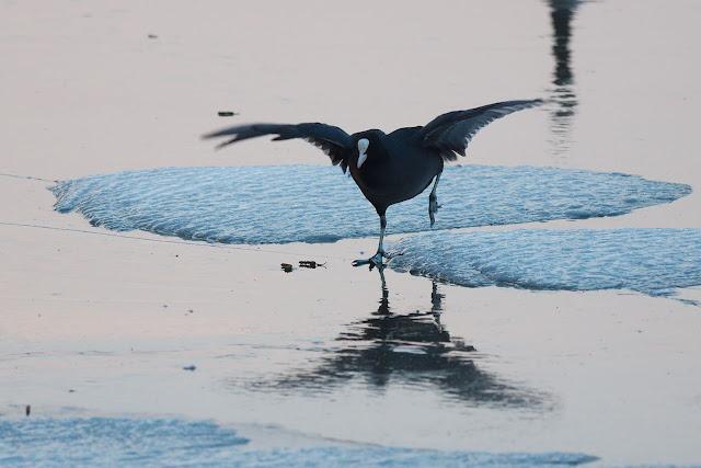 Blässhühner auf dem Eis