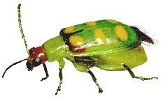 Inseto Vaquinha (Diabrotica speciosa)