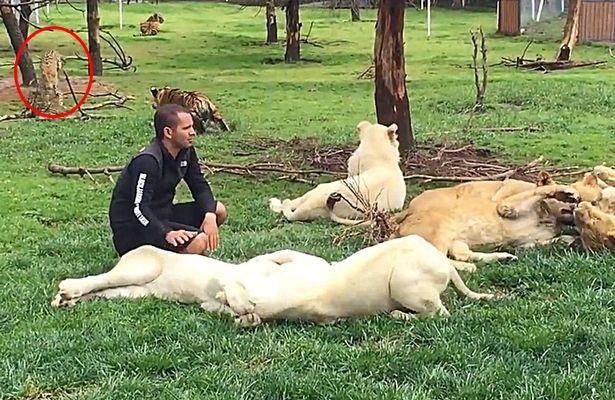 Penjaga Zoo Nyaris Diterkam Harimau Bintang Di Sebuah Zoo
