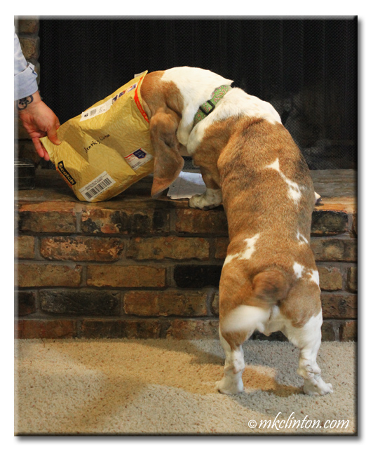 Basset Hound with head in an envelope