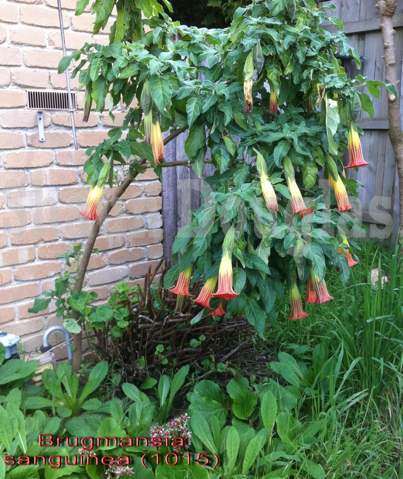 Which Plant Was Native To The New World: Brugmansia World: PLANTS 4 SALE 2013