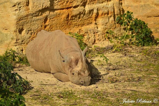 Rhinocéros bmanc, Bioparc Doué-la-Fontaine
