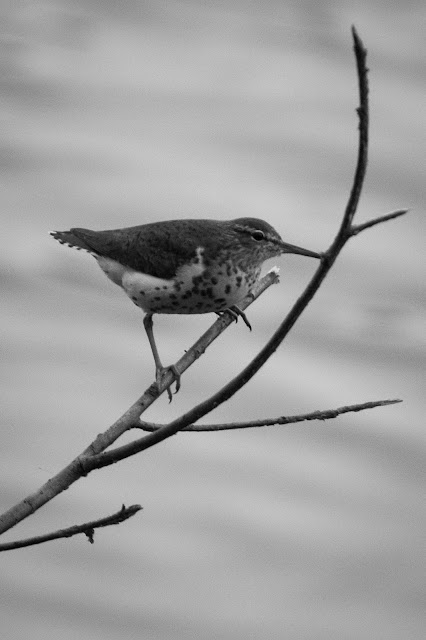 Spotted Sandpiper, Smith Oaks Sanctuary