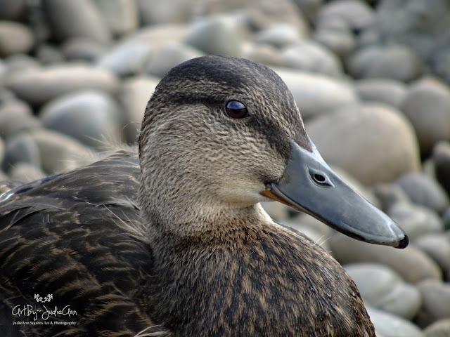 Ducks On The Beach 8 Photos + Video