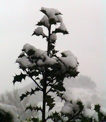 acebo en invierno