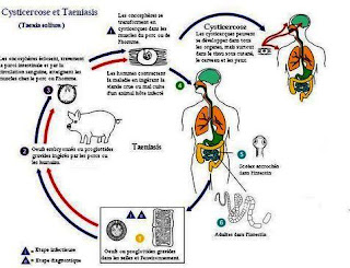 Siklus Penyakit yang Disebabkan oleh Cacing Pita (Taeniasis)