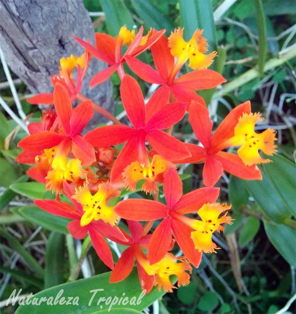 Flor de la orquídea Epidendrum radicans