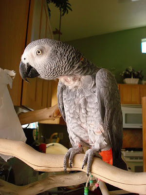 African Grey Parrot plucking