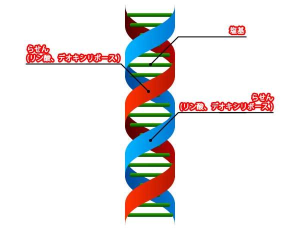 DNA概念図
