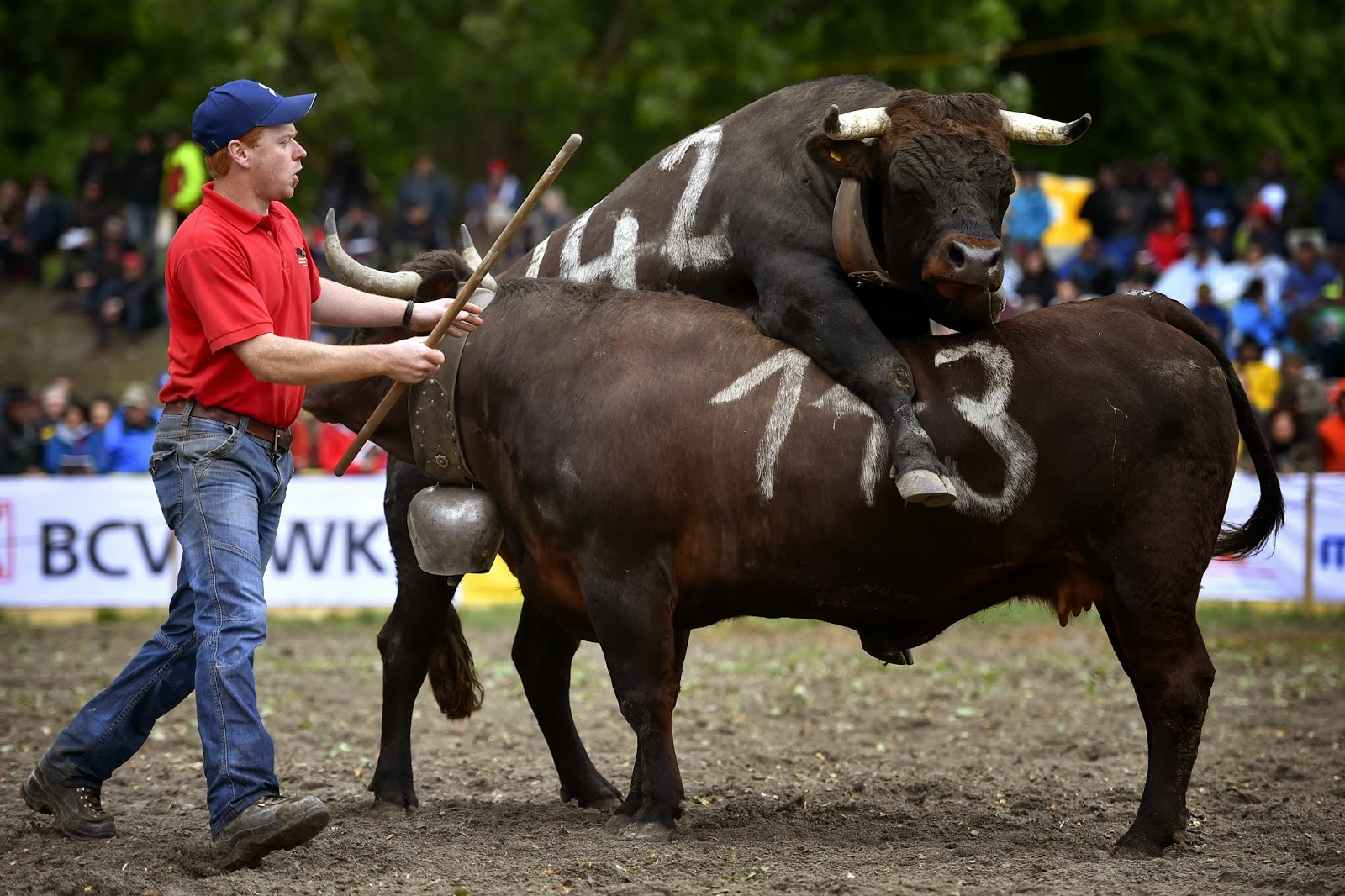 Alpine Pastures, Animals, Animals Competitions, Animals Fight, Aproz, Battle of the Queens, Bullfighting, Cow Fight, Cows, Herens cows, Switzerland,