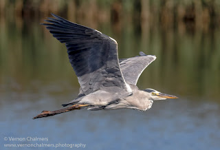 Grey Heron in Flight 4 / 4 : Woodbridge Island, Cape Town