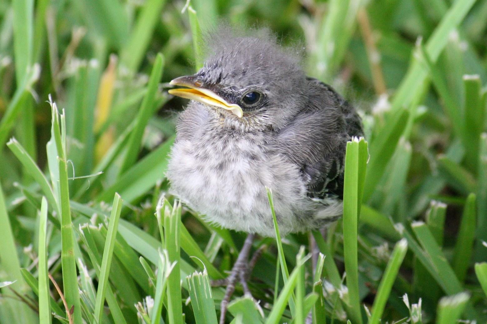 Birds: Florida State Bird (Mockingbird & Baby
