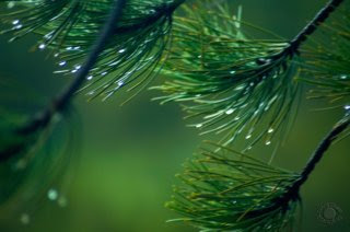 Professional quality nature photograph of pine branches dripping with water in Caribou National Forest near Pocatello, Bannock, Idaho by Cramer Imaging