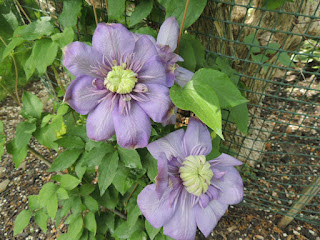 A pair of large flower blooms, soft purple pedals with a cream colured center