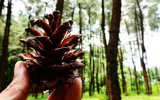 Ledok Ombo, Camping Ground Hutan Pinus di Desa Wisata Poncokusumo