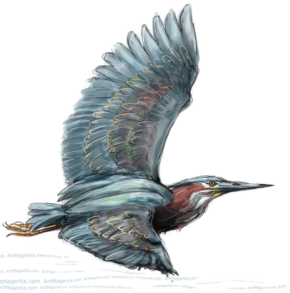 Green Heron sketch painting. Bird art drawing by illustrator Artmagenta