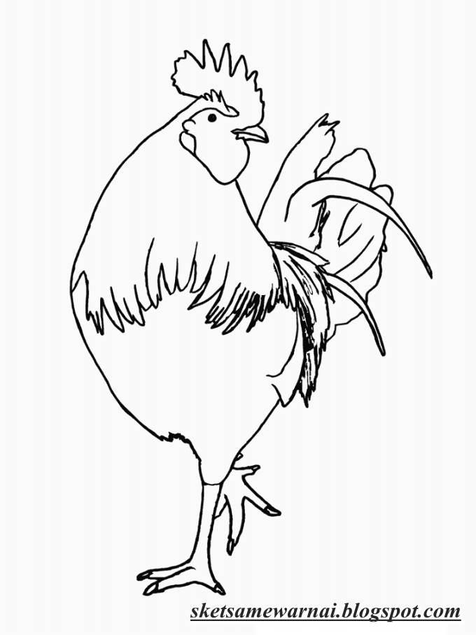 Sketsa Mewarnai Gambar Hewan Ayam Sketsa Mewarnai