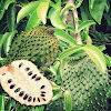 Truly Extraordinary Benefits Of Soursop Fruit