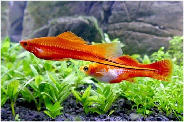 Gambar Ikan Hias Cantik – Ikan Pedang
