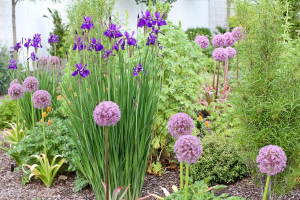 Grassy Clumps Of Violet Siberian Iris (Iris Siberica U0027Caesaru0027s Brotheru0027,  Zones 3 8, 3u0027 Tall By 2u0027 Wide, Sun) Are Not Appealing To Deer.