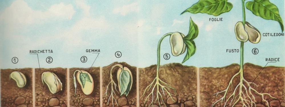 Piante e fiori parti della pianta il seme for Una storia a pianta aperta