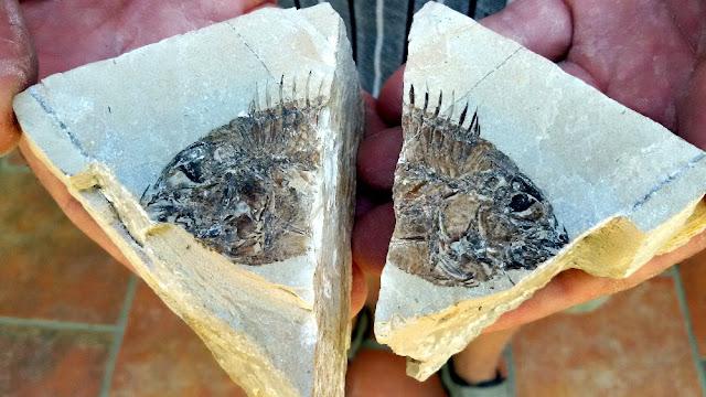 museo dei fossili bolca pesciaria