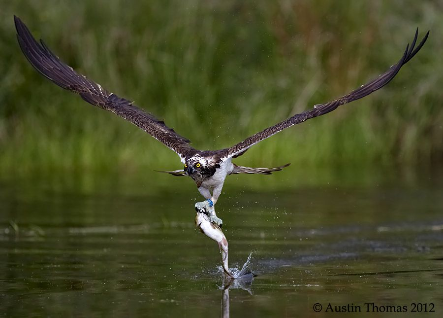 An Osprey with Fish