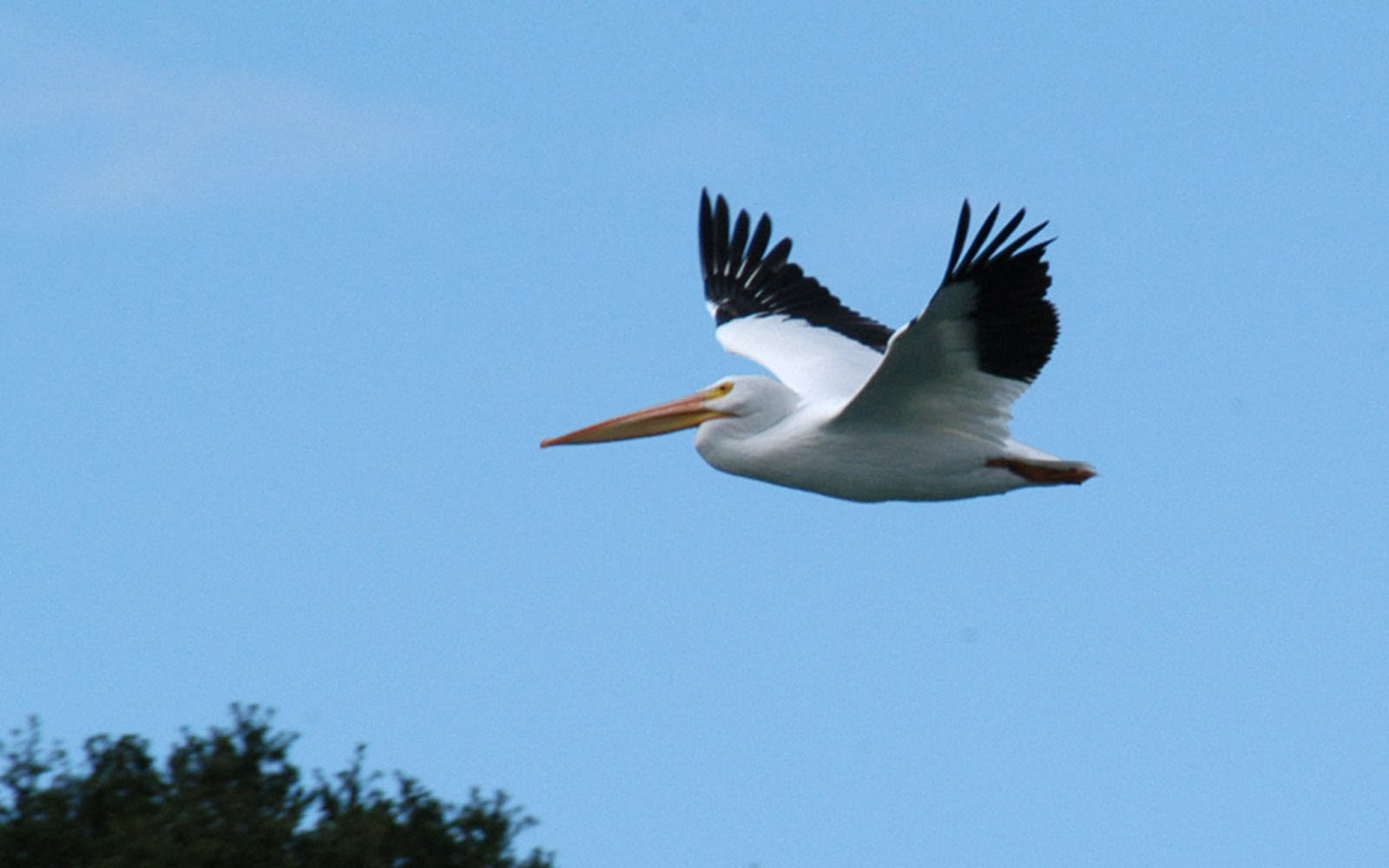 Cute Colourful Wallpapers Free Download Wallpapers American White Pelican Wallpapers