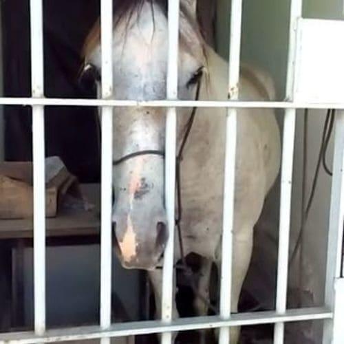 Cavalo comete um 'crime' e vai parar atrás das grades, no Sergipe