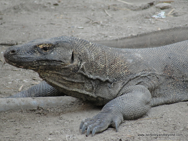 komodo dragon at Komodo Island in Indonesia