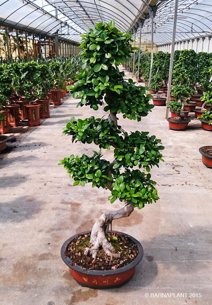 plantas barnaplant ficus microcarpa ginseng bonsai peque os y no tan peque os. Black Bedroom Furniture Sets. Home Design Ideas